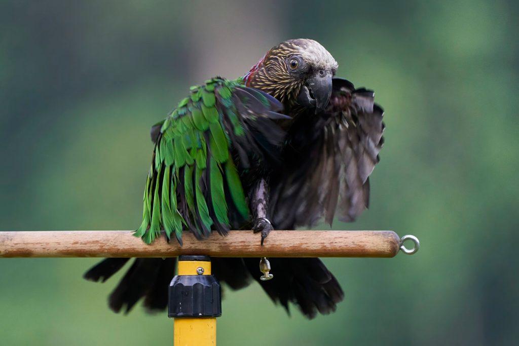 Draco the Hawk Headed Parrot