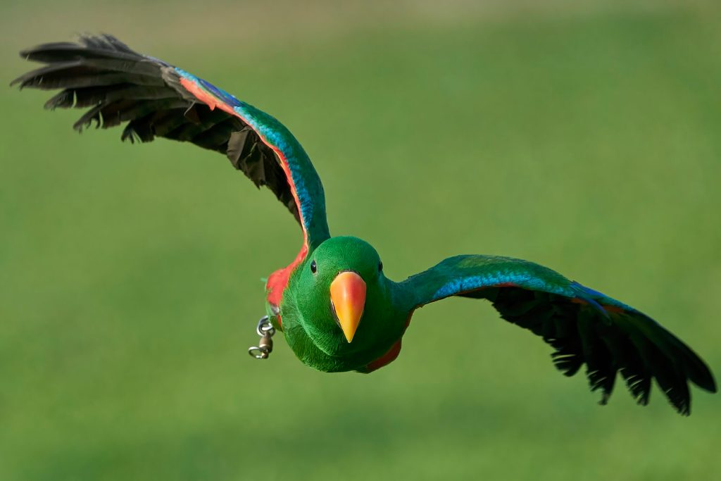 Hunter the Green Eclectus