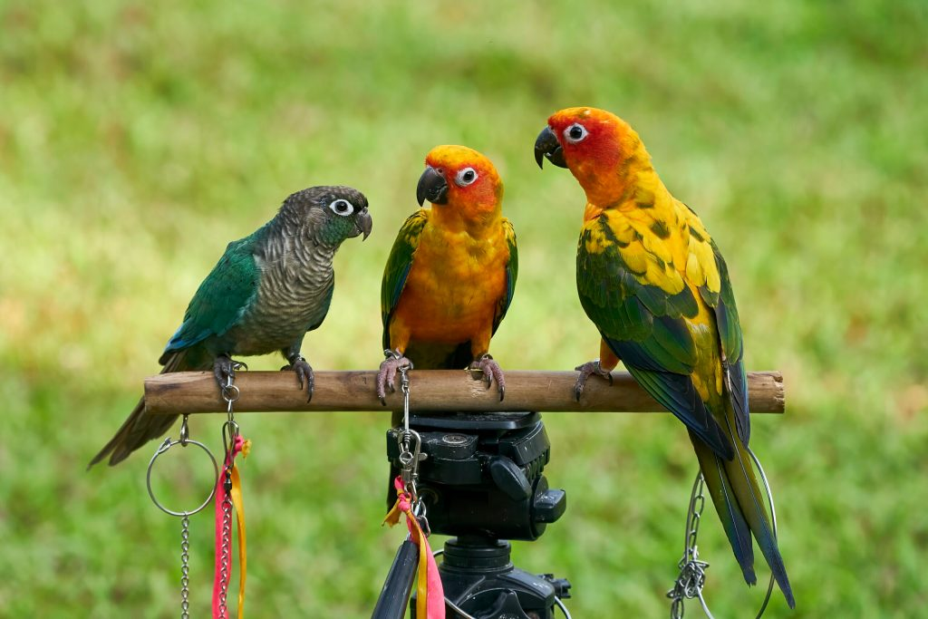 the Conures