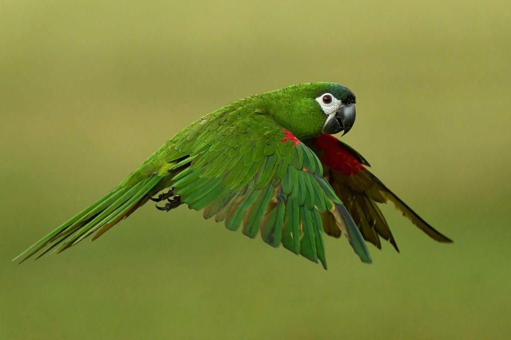 Nara the Hahns Macaw