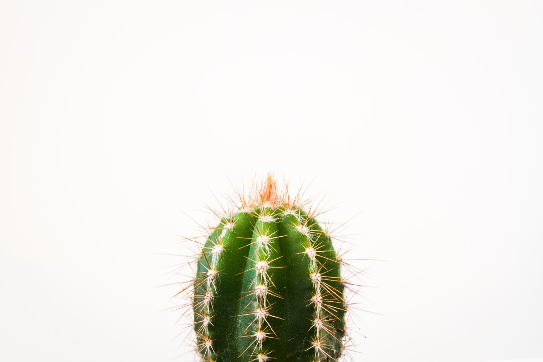 cactus in front of a white background