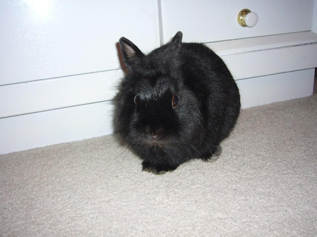 black bunny next to a white dresser