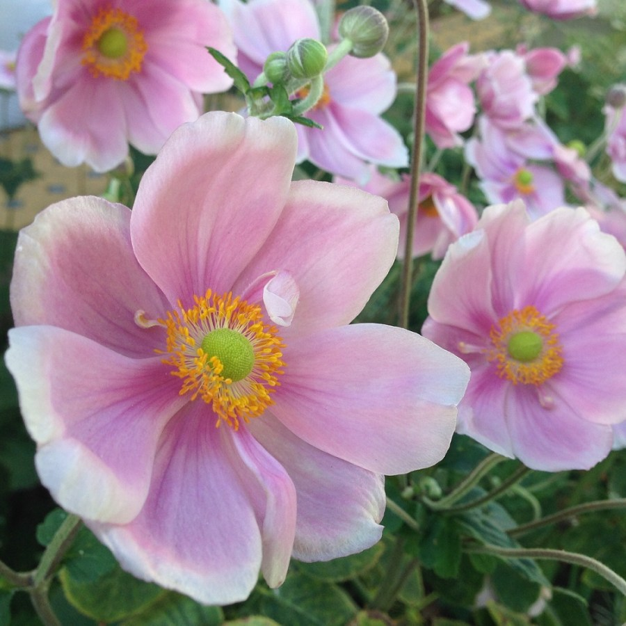 Japanese anemone L two thirds (2)