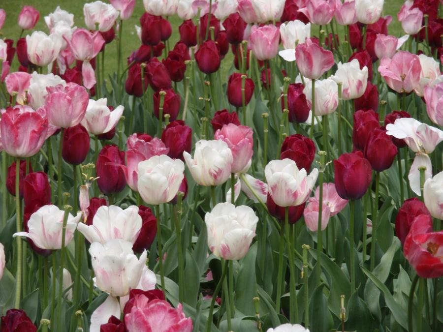 Field of red, white and pink tulips