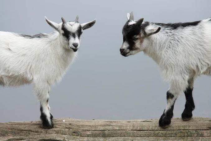 The Two Goats Animal Story for kids