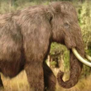 Resurrecting Woolly Mammoths