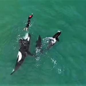 Orcas playing with swimmer in New Zealand