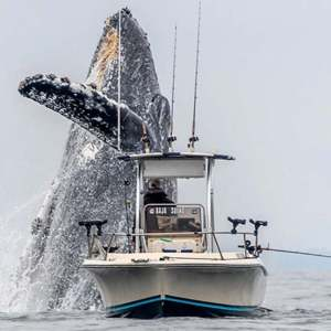 A Giant Whale Jumping next to a small boat - video