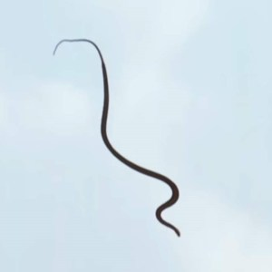 How Flying Snakes Glide through the air