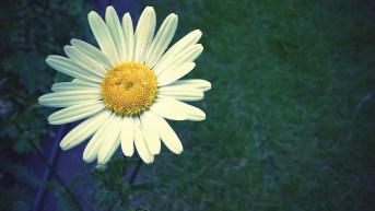 Daisy-009876