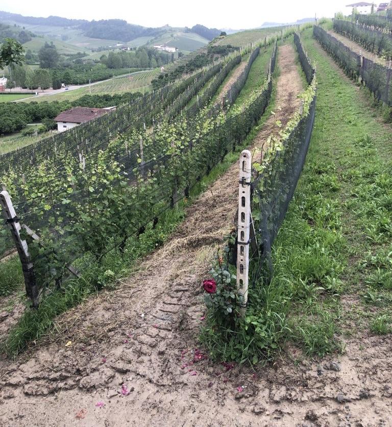 viticulture-piedmont