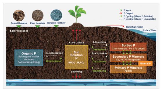 phosphorus-viticulture