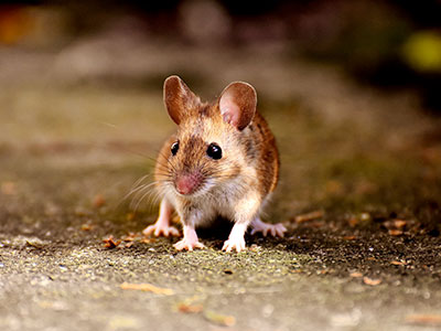 CT Mice & Rodent Exterminator | Envirocare Pest Control