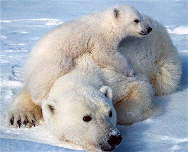 Mamá y bebe polar