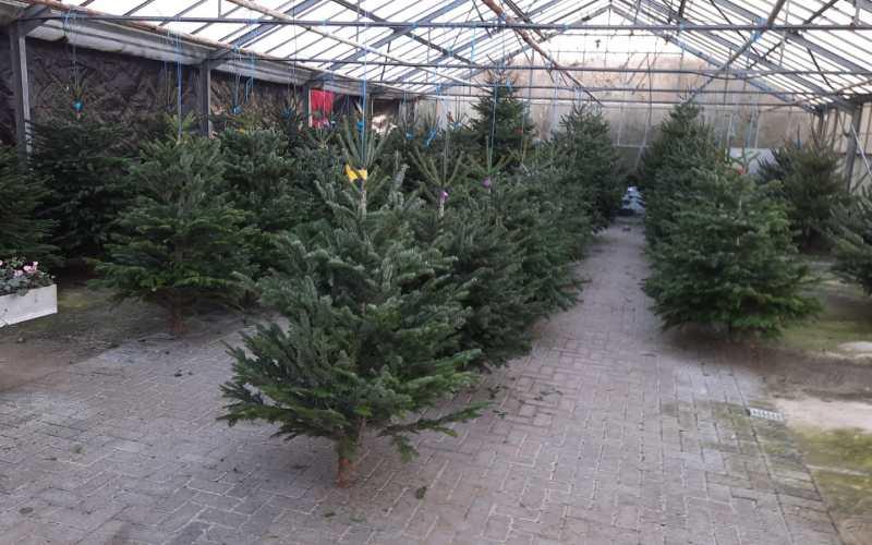 Weihnachtsbäume hängen im Gewächshaus