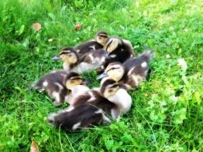 ducks-412007_1280