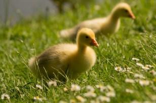 goslings-384581_1920
