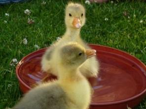 goslings-583085_1920