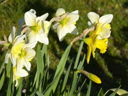 narcissus-712536_1920