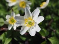 wood-anemone-1077249_1920