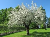 appeltrad_i_blom_foto_klara_h_0 Julita Fruktträdgård