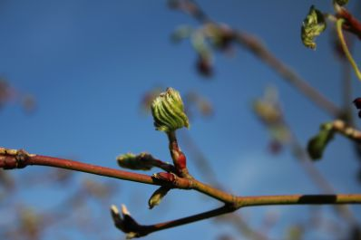 Acer leaves unfolding