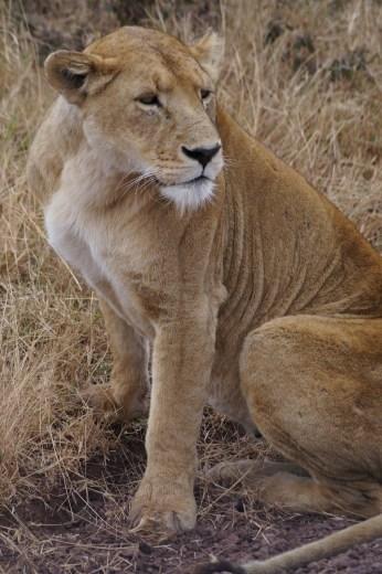 Lioness in Ngorongoro.
