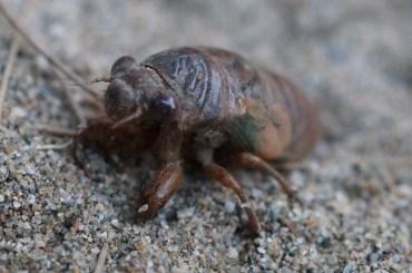 Cicada, side