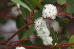 Snow gum flowers (Eucalyptus pauciflora)
