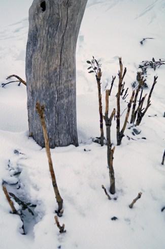 Stripped sapling snowgums