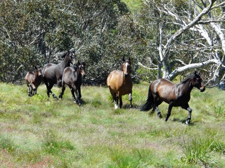 Brumbies in the Victorian High Country, Falls Creek