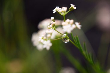 Water droplet on flower