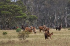 Herd of brumbies, Cooleman