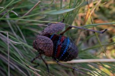 Mountain Katydid - Acripeza reticulata