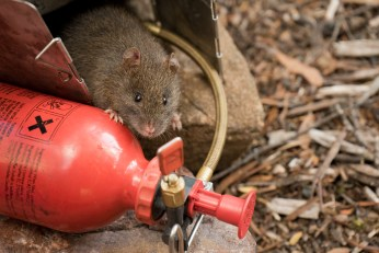 Lake Judd Swamp Rat (Rattus lutreolus), crawling beneath barely-cool stove