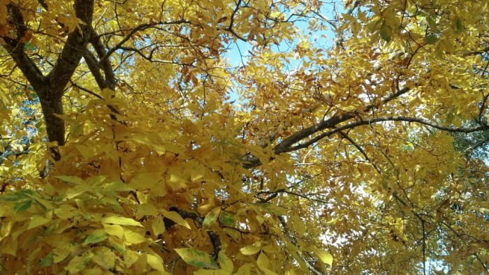 Fall yellow trees