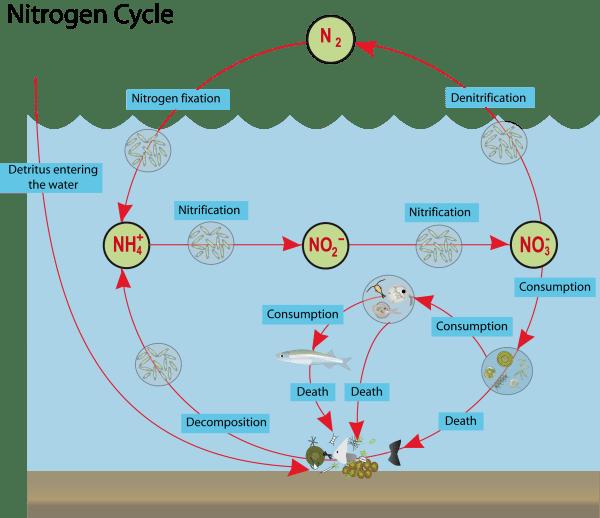The marine nitrogen cycle
