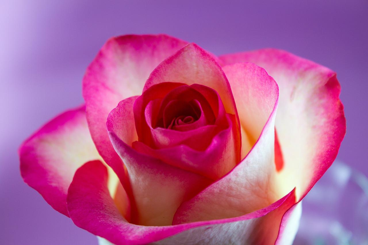 flower, rose, love
