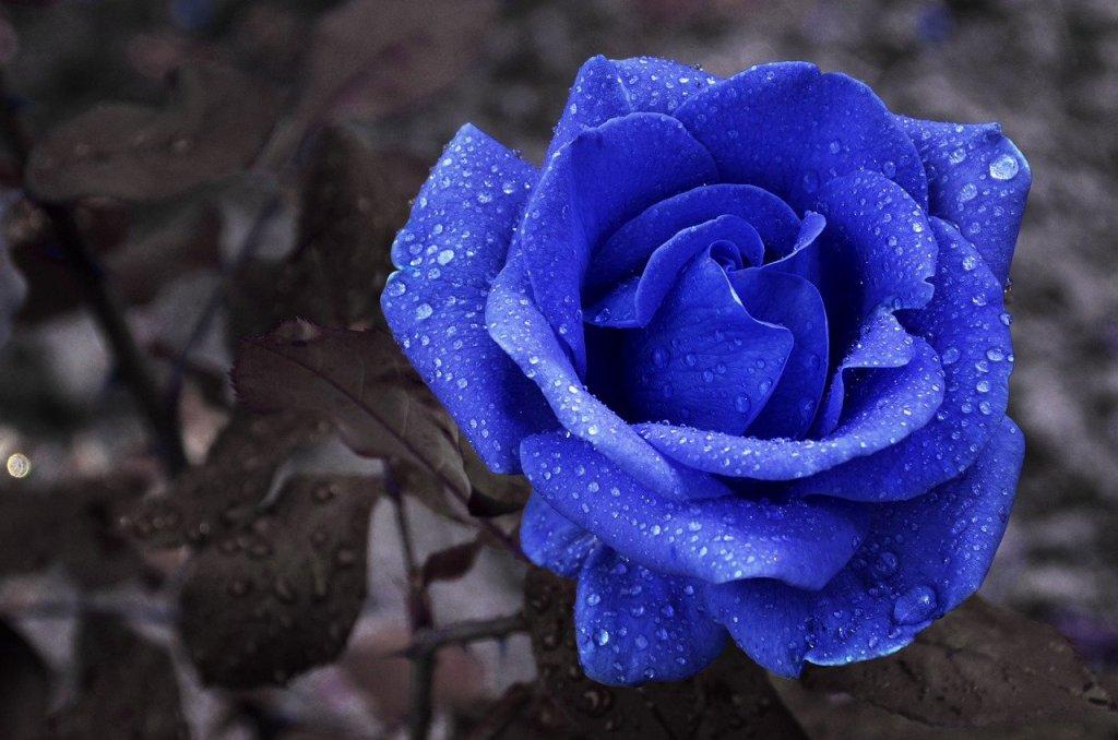 flower, blue, rose