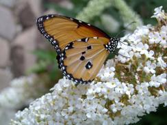 DWBG-african-monarch