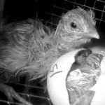 chicken-egg-gs