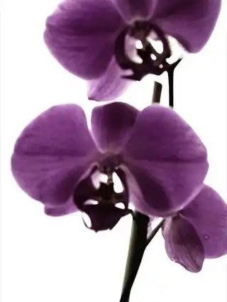 Purple_orchid_flower_30860_l