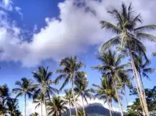 Coconuts_trees_tree_221641_l