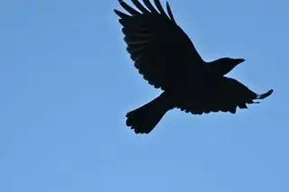 Crow-bird-flight-43462-h