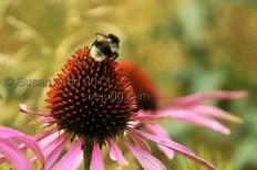 Bee on unknown flower