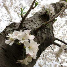 Tree Blossoms Above