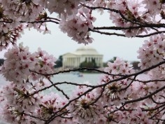Jefferson Memorial blossoms