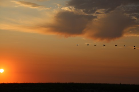 Geese migrate for the winter in America