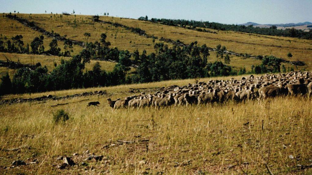 Schafherde Australien