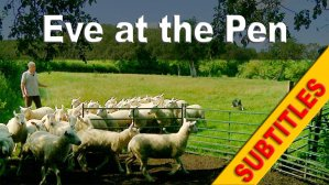 training a sheepdog to herd sheep into and out of a pen or yard
